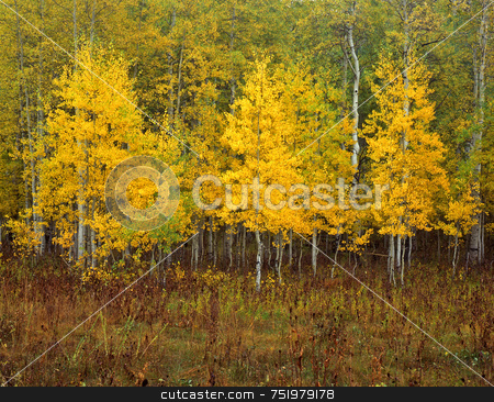Uinta Forest Aspens 3 stock photo, Aspen trees in the Uinta National Forest, Utah. by Mike Norton