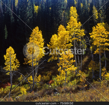 Uinta Forest Aspens 4 stock photo, Aspen trees in the Uinta National Forest, Utah. by Mike Norton