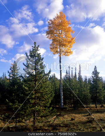 Ashley Forest Aspen 2 stock photo, An aspen tree in the Ashley National Forest, Utah. by Mike Norton