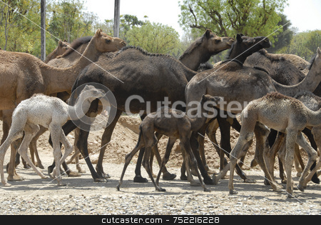 Camel Herd of India stock photo, Camel Herd in India by A Cotton Photo