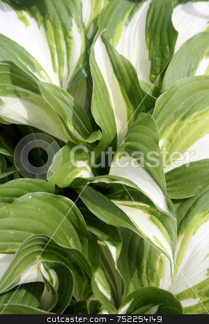 Hostas stock photo, Close-up of green and white striped hostas in shade garden by Tom and Beth Pulsipher