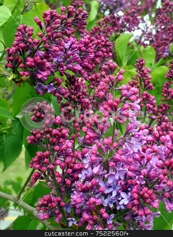 Purple Lilacs in Spring stock photo, Purple lilacs, blooming in Spring by Tom and Beth Pulsipher