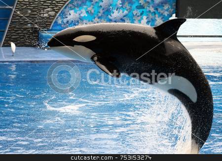 Killer Whale stock photo, A killer whale jumping out of the water. by Lucy Clark