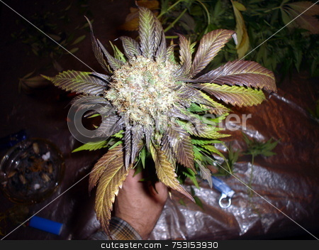 Purple Marijuana Bud stock photo, A large purple Marijana bud covered in white hairs and resin. by Lynn Bendickson