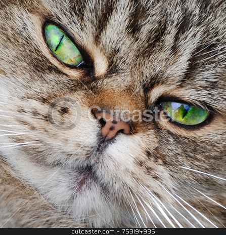 The Cat's Whiskers stock photo, A photograph of a cat's face, showing its vivid green eyes and white whiskers by Philippa Willitts