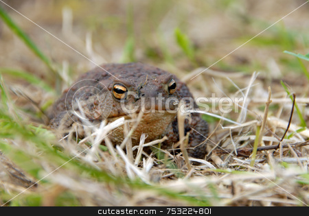 Toad or frog in grass stock photo, Toad or frog resting in grass near lakeside by Joanna Szycik