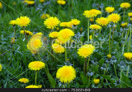 Dandelions stock photo, Spring flower landscape. Dandelions on a sunny day. by Joanna Szycik