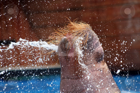 Walrus Squirt stock photo, A walrus squirting water from its mouth. by Lucy Clark