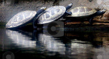 3 Tortoises stock photo, 3 Tortoises on top of each others backs by Lucy Clark