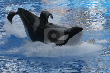 Whale Splash stock photo, A Whale landing in the water making a splash by Lucy Clark