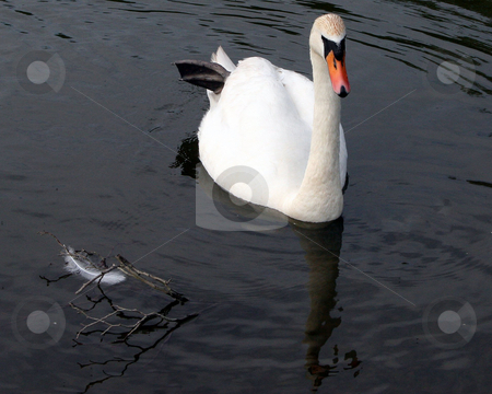 Swan And A Feather stock photo, A swan and a feather in a lake. by Lucy Clark