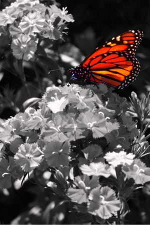 Butterfly stock photo, Butterfly on Flower, color and B&W by Lucy Clark