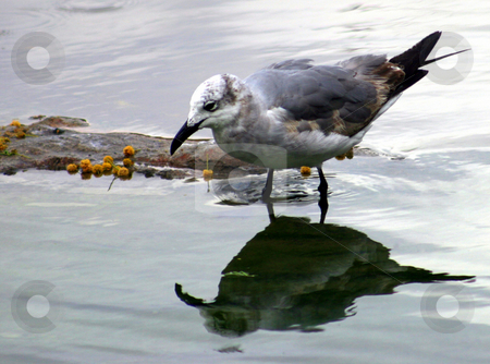 Seagull Reflection stock photo, A seagull looking at its reflection by Lucy Clark