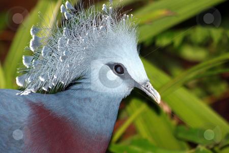 Victoria Crowned Pigeon stock photo, A victoria crowned pigeon in a zoo by Lucy Clark