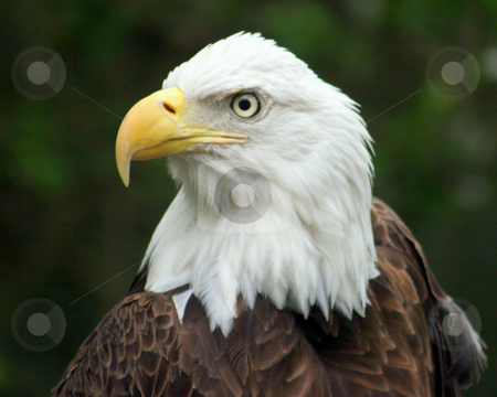 The Proud Eagle stock photo, An eagle looking proud in a zoo. by Lucy Clark