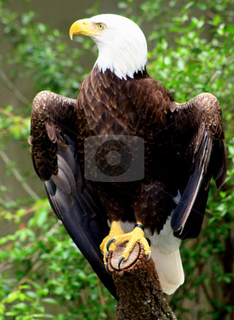 Eagle stock photo, An eagle sitting on a branch by Lucy Clark