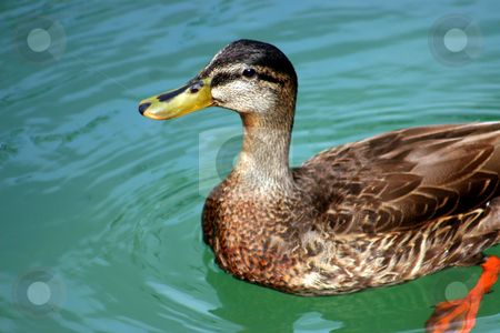 Duck Looking stock photo, A duck swimming in a lake looking up by Lucy Clark