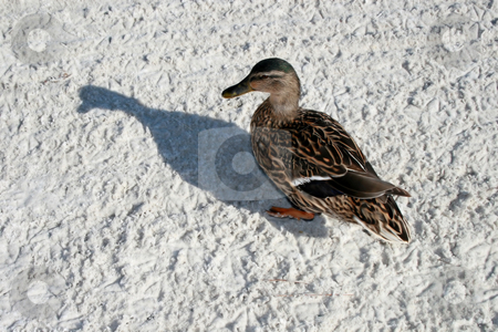 Duck and Shadow stock photo, Duck with shadow standing on the sand. by Lucy Clark