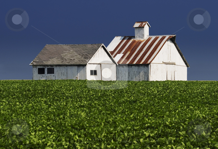 Farm Buildings stock photo, Whitewashed farm buildings with a leafy crop in the forground. by Scott Griessel