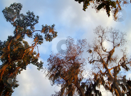 Trees stock photo, View of unusual trees from below with blue sky and clouds. by Lucy Clark