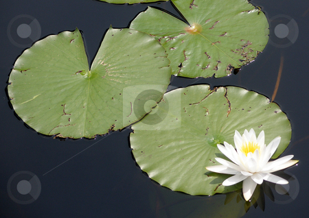 Lily Pads stock photo, Lily Pads and Lily by Lucy Clark