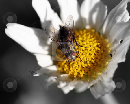 Fly On Flower stock photo, A fly on a flower - selctive color by Lucy Clark