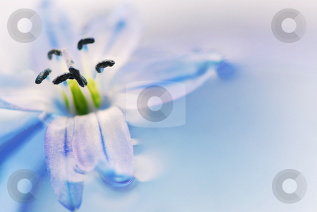 Floating flowers stock photo, Extreme macro image of a blue flower floating in water by Elena Elisseeva