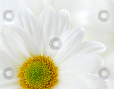 White daisies stock photo, Macro image of several white daisies flowers by Elena Elisseeva