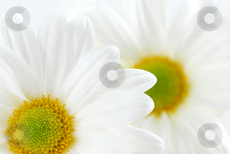 White daisies stock photo, Macro image of two white daisies flowers by Elena Elisseeva