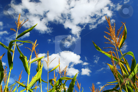 Corn field stock photo, Farm field with growing corn under blue sky by Elena Elisseeva