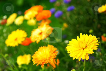 Flower background stock photo, Background of colorful mixed flowers growing in a garden by Elena Elisseeva