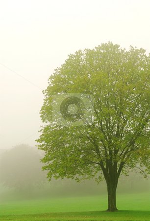 Tree in fog stock photo, Spring lush green tree in a fog by Elena Elisseeva