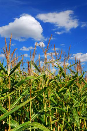 Corn field stock photo, Farm field with growing corn under blue sky by Elena Elisseeva