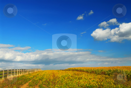 Corn and soya fields stock photo, Farm fields on soybeans and corn under blue sky by Elena Elisseeva