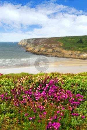 Atlantic coast in Brittany stock photo, Heather blooming on Altantic coast in Brittany, France by Elena Elisseeva