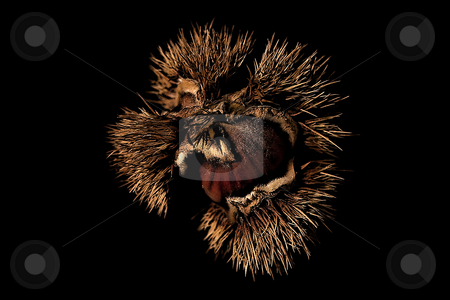... a chestnut stock photo,  by emiliano beltrani