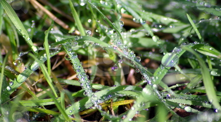 Water Drops On Grass stock photo, Water droplets glistoning in the sun on blades of grass. by Lynn Bendickson
