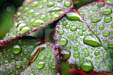 Green dew wet leaves stock photo, Green leaves covered by drops of dew by Dario Rota