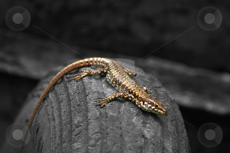 Lizard on a tyre stock photo, Coloured lizard on a black and white tyre by Dario Rota