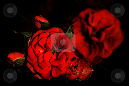 ... wild roses stock photo,  by emiliano beltrani