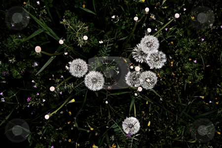 ... taraxacum constellation stock photo,  by emiliano beltrani