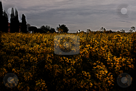 ... a rape seed field stock photo,  by emiliano beltrani