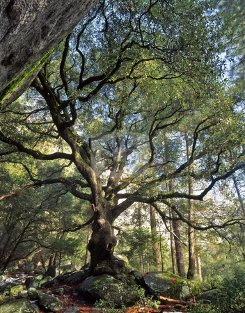 Black Oak Tree stock photo, A black oak tree in Yosemite National Park, California. by Mike Norton