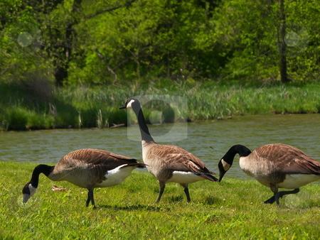 3 Geese stock photo,  by John Adair