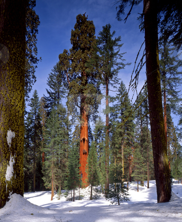 Sequoia Tree stock photo, A giant sequoia tree in Sequoia National Park, California. by Mike Norton