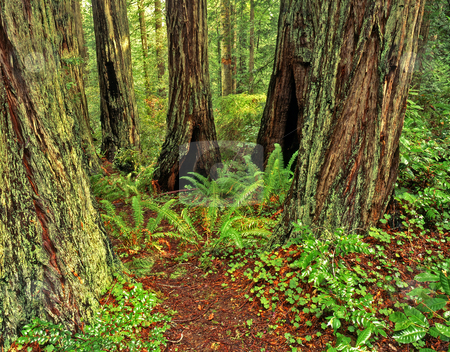 Redwood Forest 3 stock photo, Redwood trees in Redwood Forest National Park, California. by Mike Norton