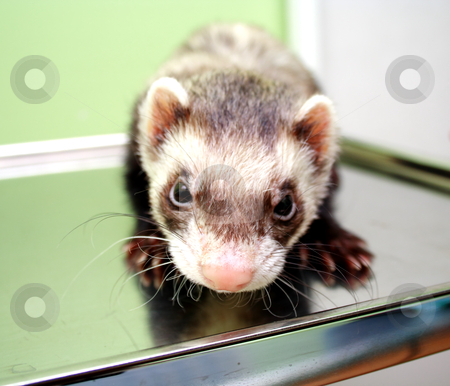 Close-up of ferret, 3 years old, on the iron table stock photo, Close-up of ferret on the iron table by vetdoctor