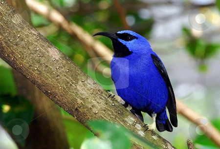 Blue Bird. stock photo, Exotic blue bird in tree. by WScott