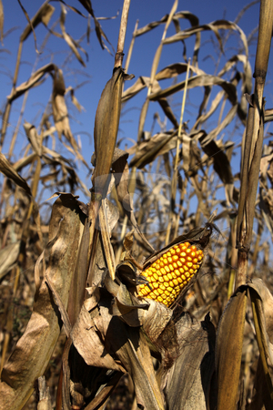 Autumn Corn Field stock photo, A ear of corn still on the stalk at harvest.  by Chris Hill