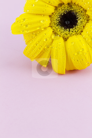 Lovely Blossom stock photo, Yellow, sunflower-like blossom with fresh water drops against pink background, vertical and with copy space;  by Florence McGinn